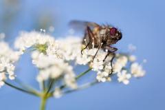 Fly prepared to fly #fly #flower #blue #white #macro_spotlight #macro_highlight #smallworld_uc #macroclique #macro_vision #macro_kings #flair_macro #igbest_macros