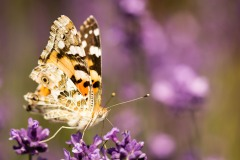 Vanessa cardui (Painted Lady, Babočka bodláková) on lavender #butterfly #VanessaCardui #PaintedLady #lavender #macro_spotlight #macro_highlight #smallworld_uc #macroclique #macro_vision #macro_kings #flair_macro #igbest_macros